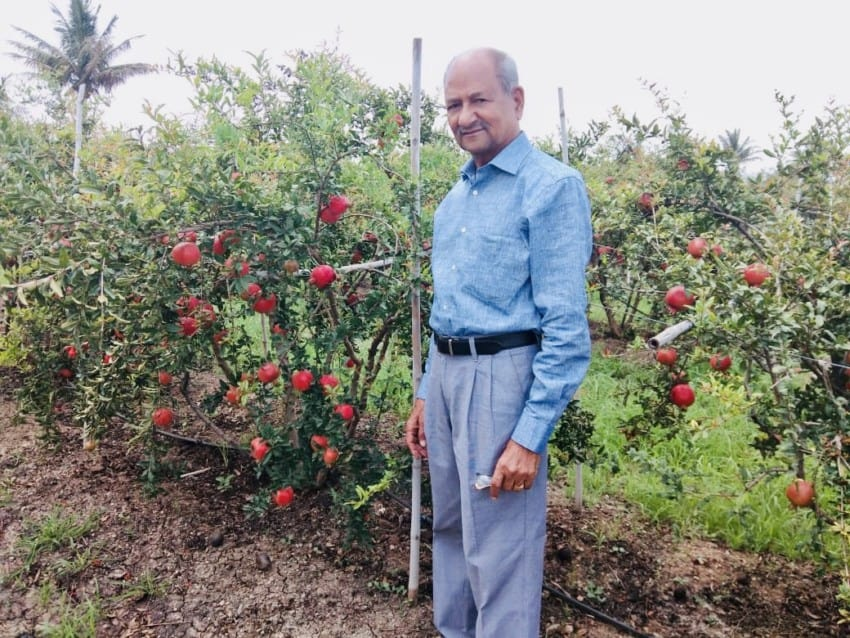 Dad in pomegranate orchard